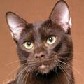 Havana macska - viszonylag ritka fajtának számít!