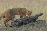 Afrikai vadmacska - mai házi kedvenceink őse